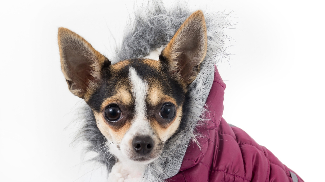 Is Your Dog Telling You It's Too Cold to go Outside - Maybe